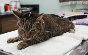 cat acupuncture
